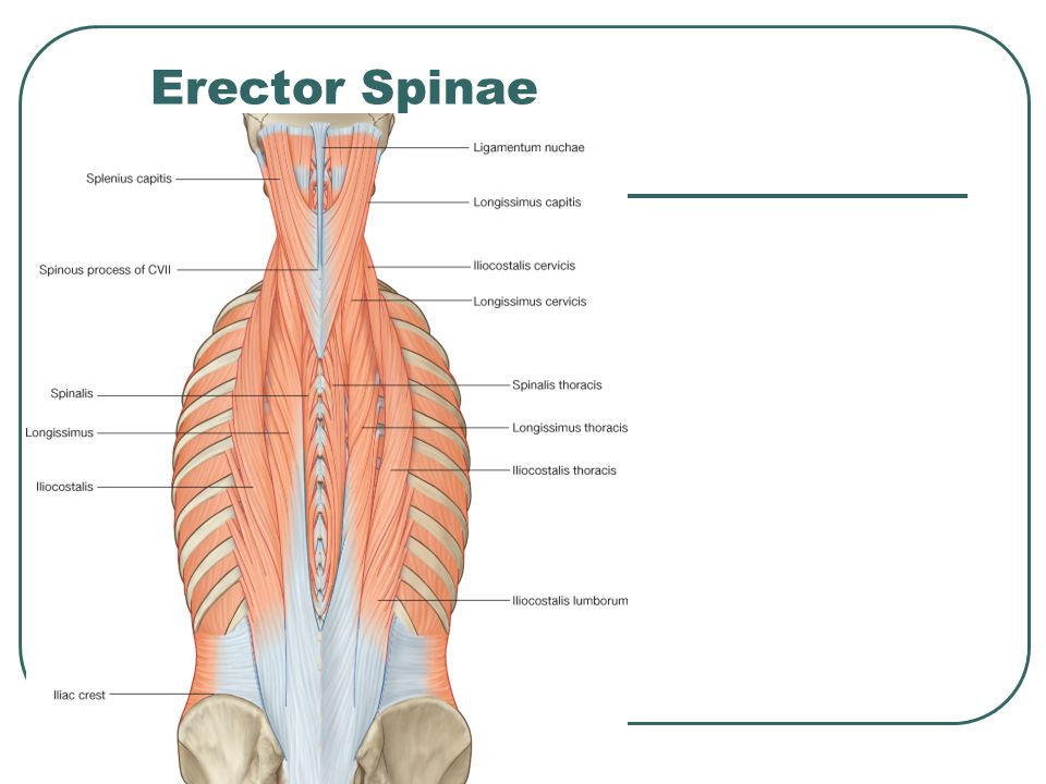 Erector Spinae