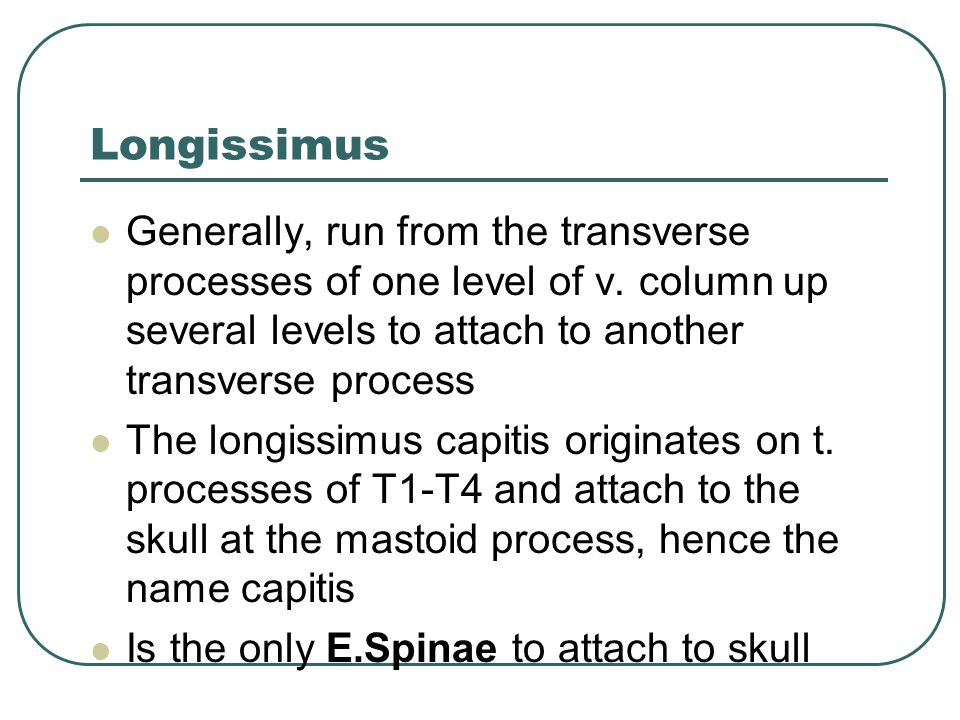 Longissimus Generally, run from the transverse processes of one level of v. column up several levels to attach to another transverse process.
