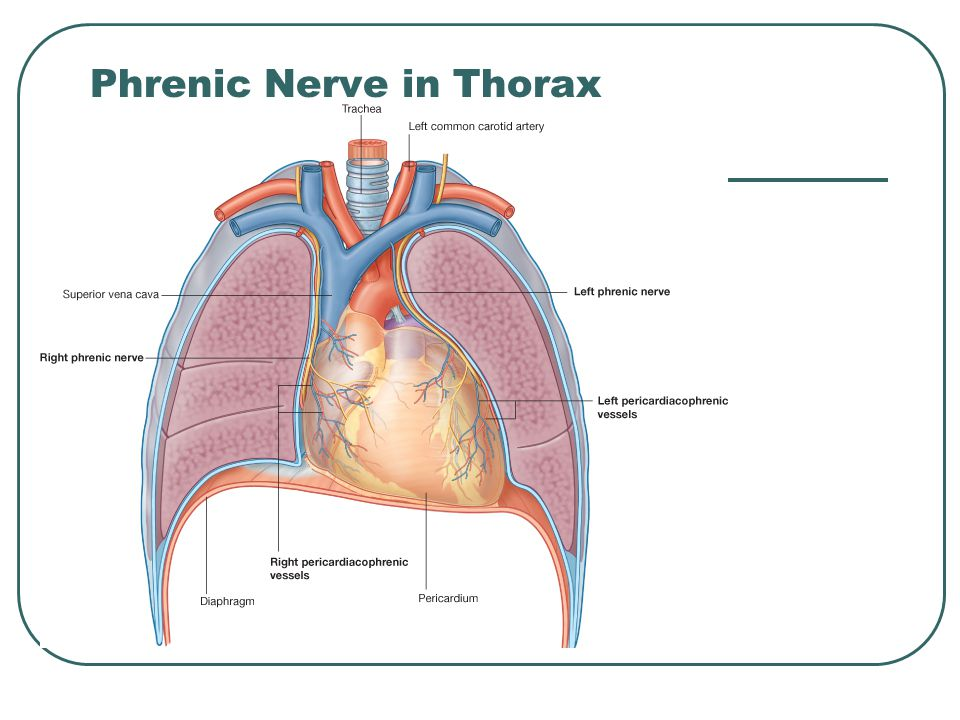 Phrenic Nerve in Thorax