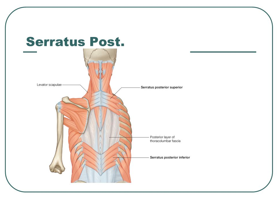 Serratus Post.