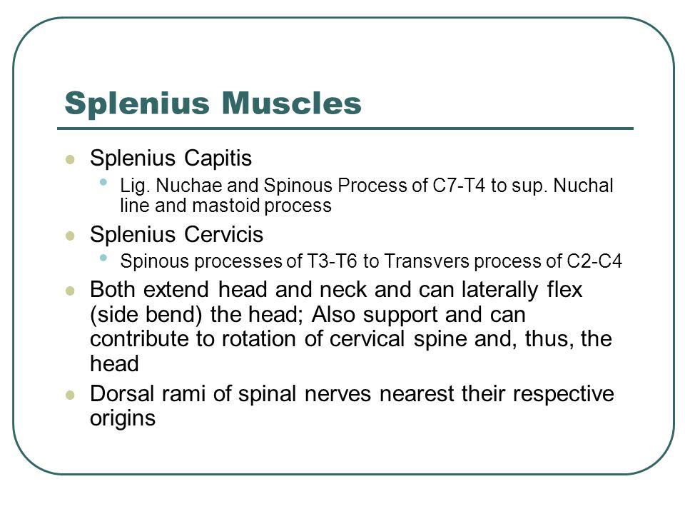 Splenius Muscles Splenius Capitis Splenius Cervicis
