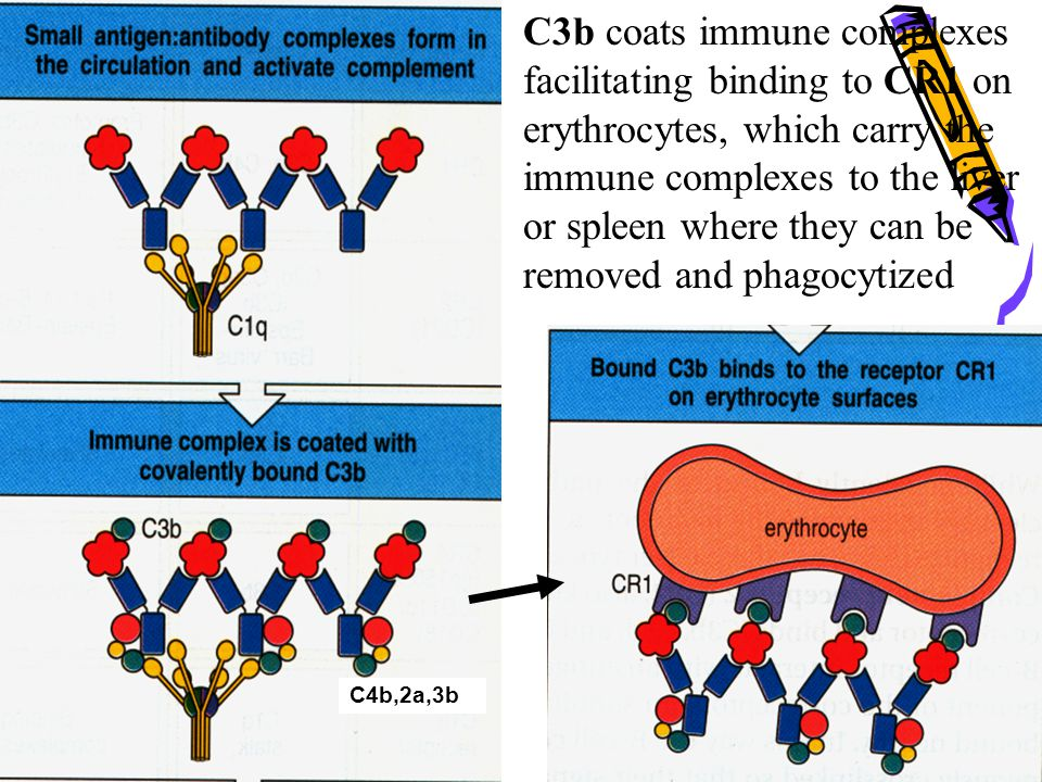 C3b coats immune complexes facilitating binding to CR1 on erythrocytes, which carry the immune complexes to the liver or spleen where they can be removed and phagocytized