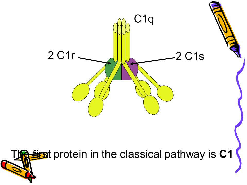 C1q 2 C1r 2 C1s The first protein in the classical pathway is C1