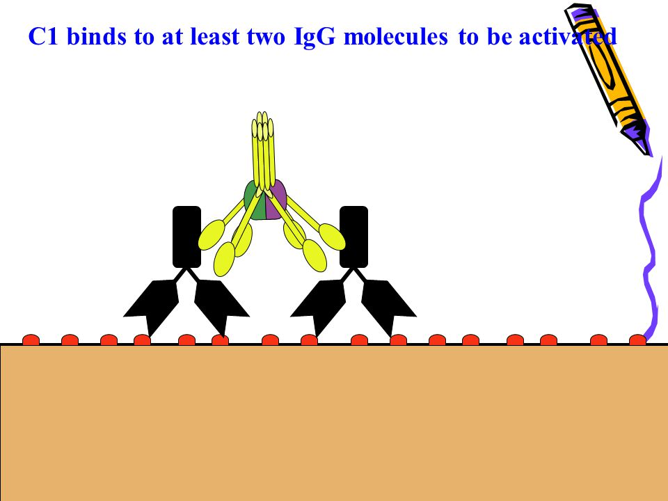 C1 binds to at least two IgG molecules to be activated