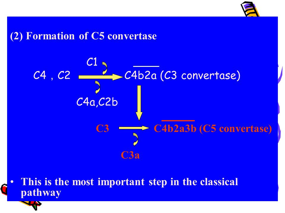 (2) Formation of C5 convertase
