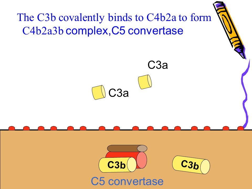 The C3b covalently binds to C4b2a to form