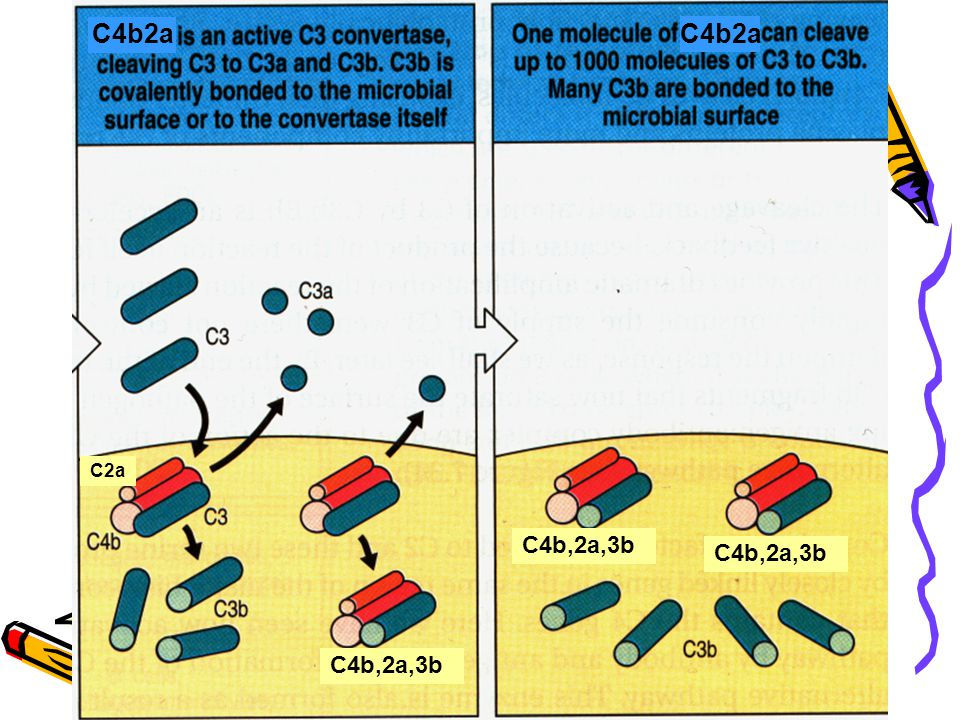 C4b2a C4b2a C2a C4b,2a,3b C4b,2a,3b C4b,2a,3b