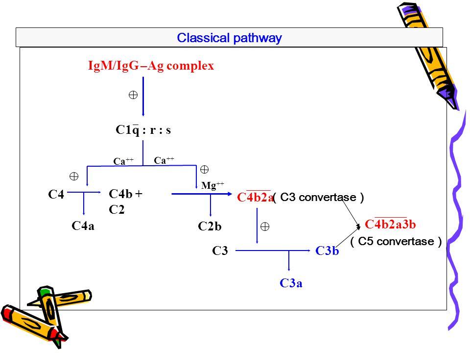 Classical pathway IgM/IgG –Ag complex C1q : r : s C4 C4b + C2 C4a C2b