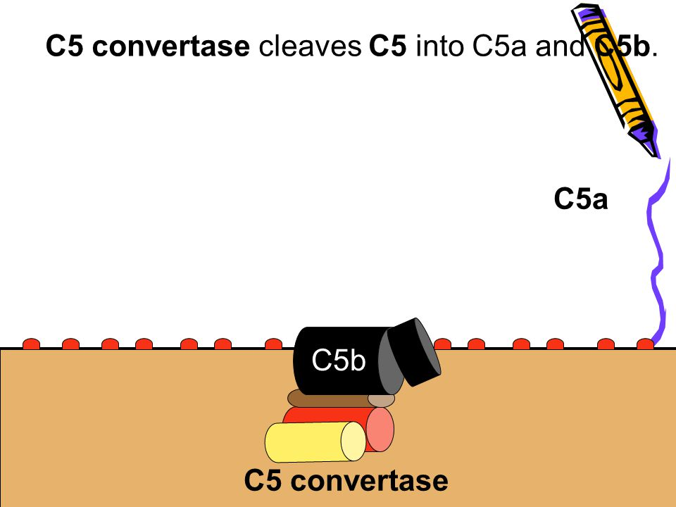 C5 convertase cleaves C5 into C5a and C5b.