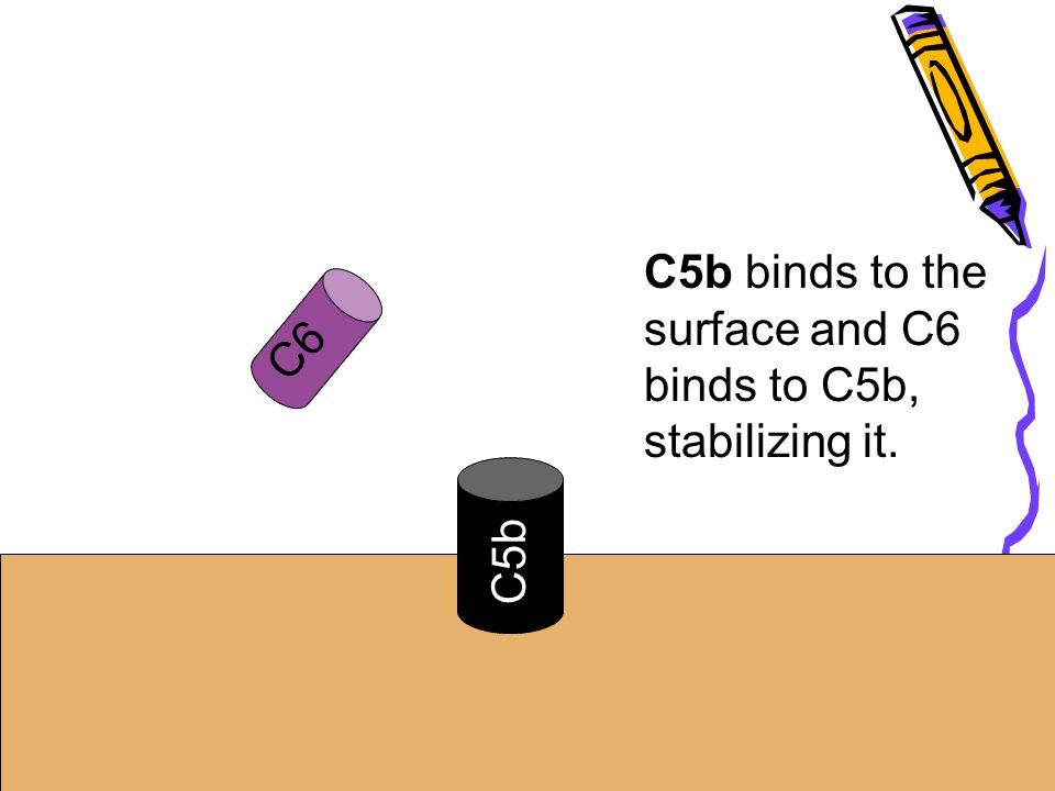 C5b binds to the surface and C6 binds to C5b,