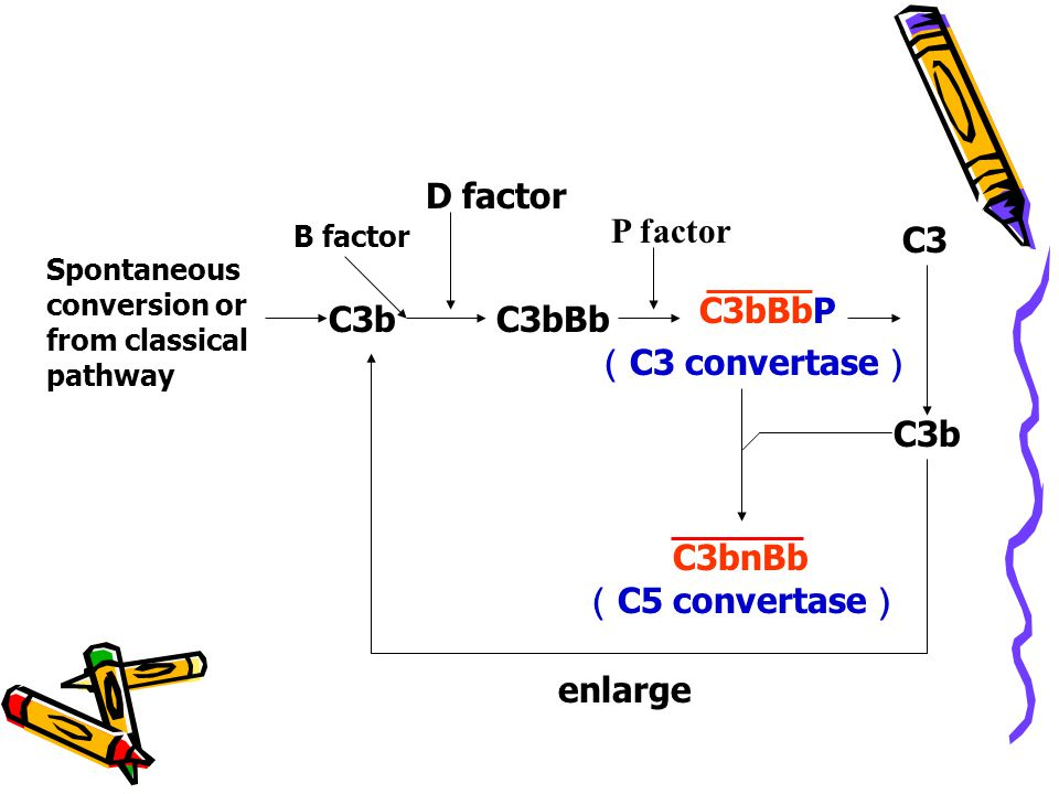 D factor P factor C3 C3bBbP C3b C3bBb (C3 convertase) C3b C3bnBb