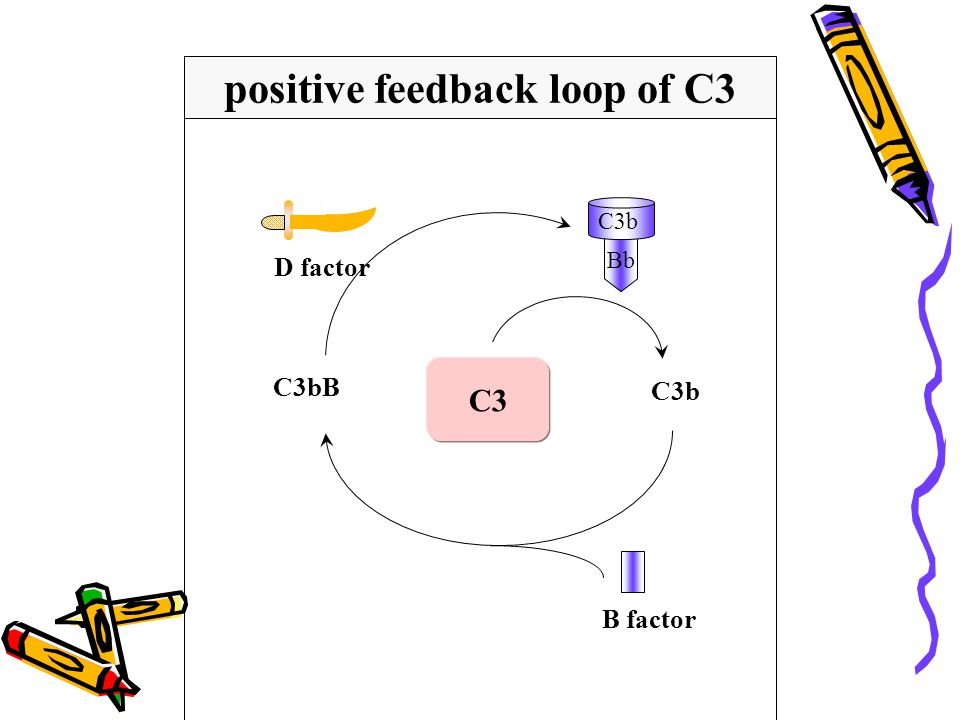 positive feedback loop of C3
