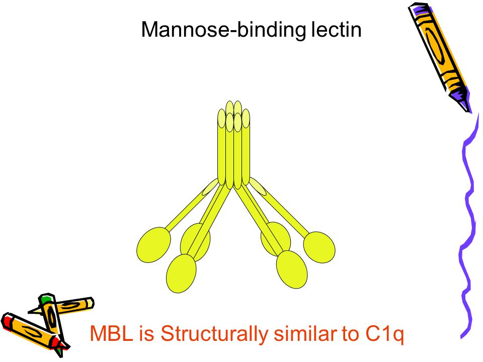 Mannose-binding lectin