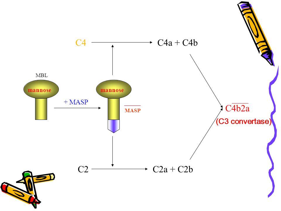 C4 C4a + C4b C4b2a C2 C2a + C2b (C3 convertase) + MASP mannose mannose
