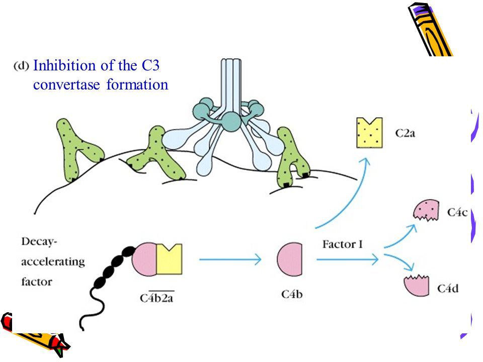 Inhibition of the C3 convertase formation