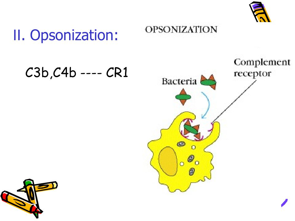 Ⅱ. Opsonization: C3b,C4b ---- CR1