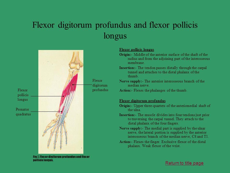 Flexor digitorum profundus and flexor pollicis longus
