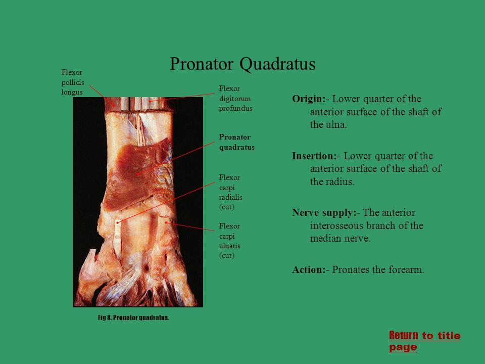 Pronator Quadratus Flexor pollicis longus. Origin:- Lower quarter of the anterior surface of the shaft of the ulna.
