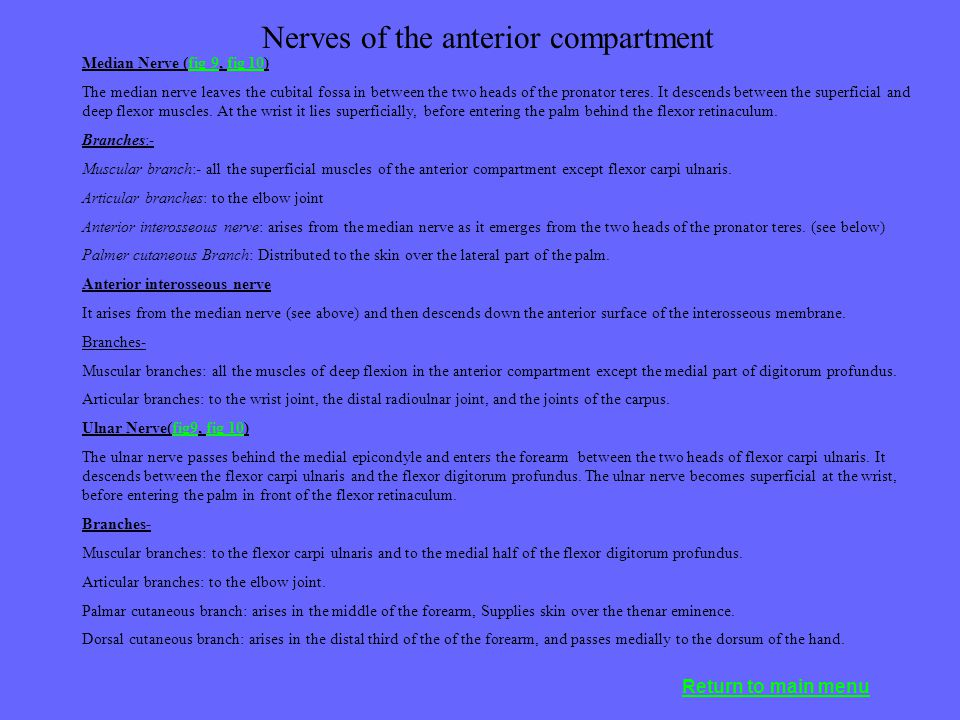Nerves of the anterior compartment