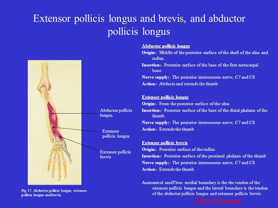 Extensor pollicis longus and brevis, and abductor pollicis longus