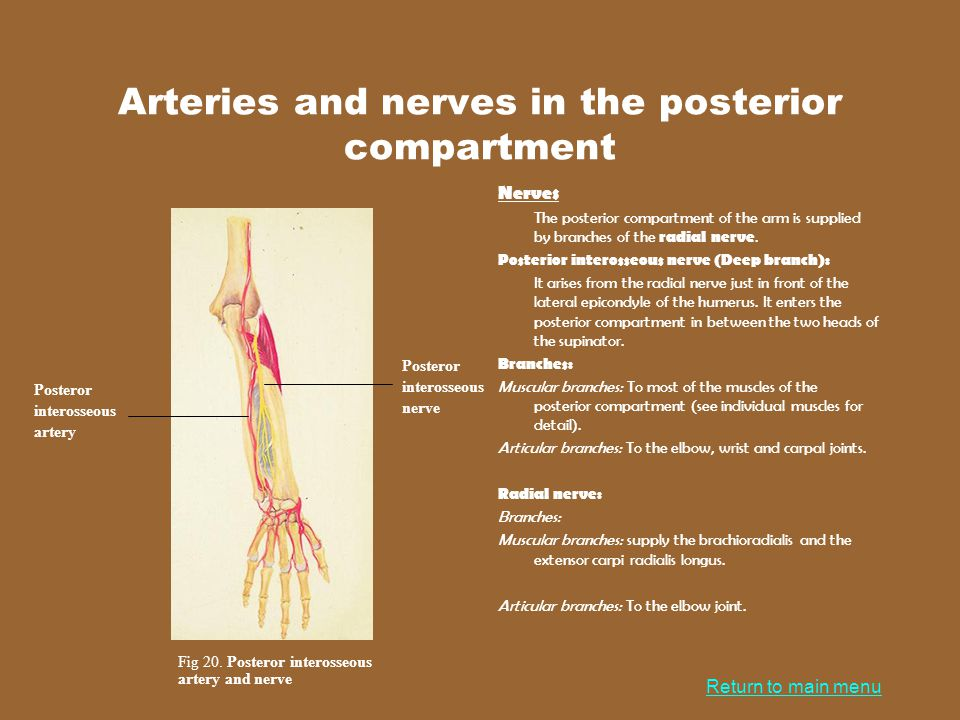 Arteries and nerves in the posterior compartment
