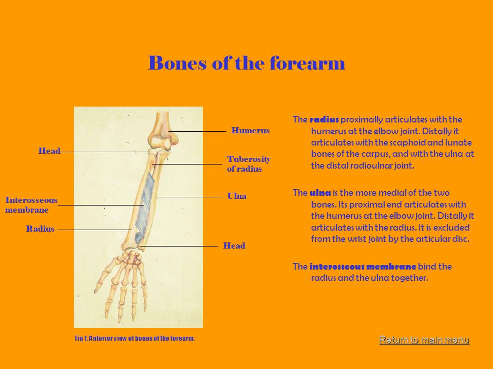 Bones of the forearm
