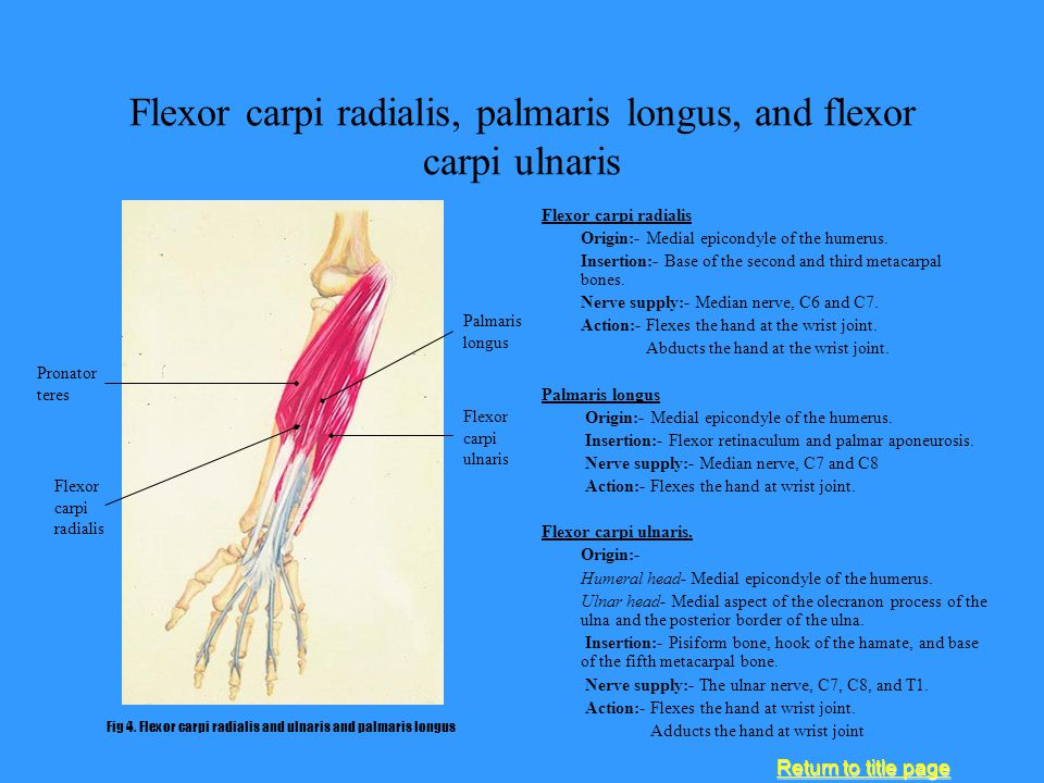 Flexor carpi radialis, palmaris longus, and flexor carpi ulnaris