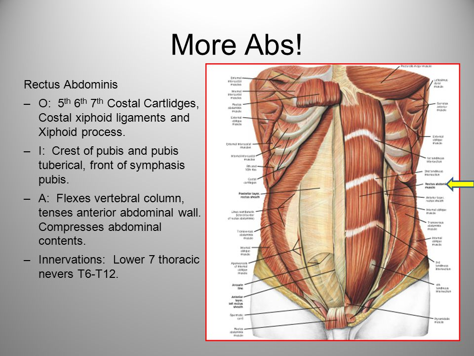 More Abs! Rectus Abdominis
