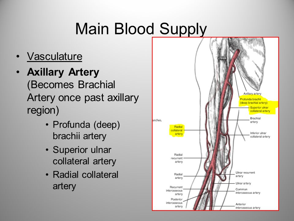 Main Blood Supply Vasculature