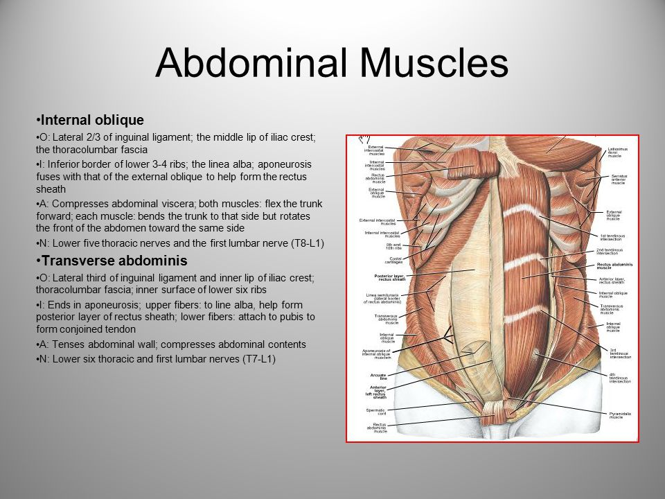 Abdominal Muscles Internal oblique Transverse abdominis