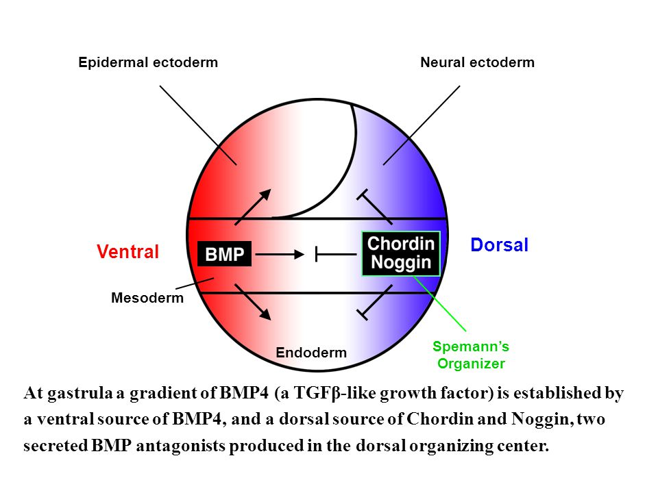 secreted BMP antagonists produced in the dorsal organizing center.