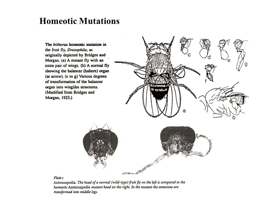 Homeotic Mutations