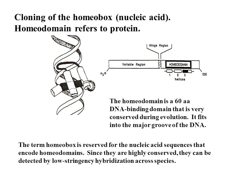 Cloning of the homeobox (nucleic acid). Homeodomain refers to protein.