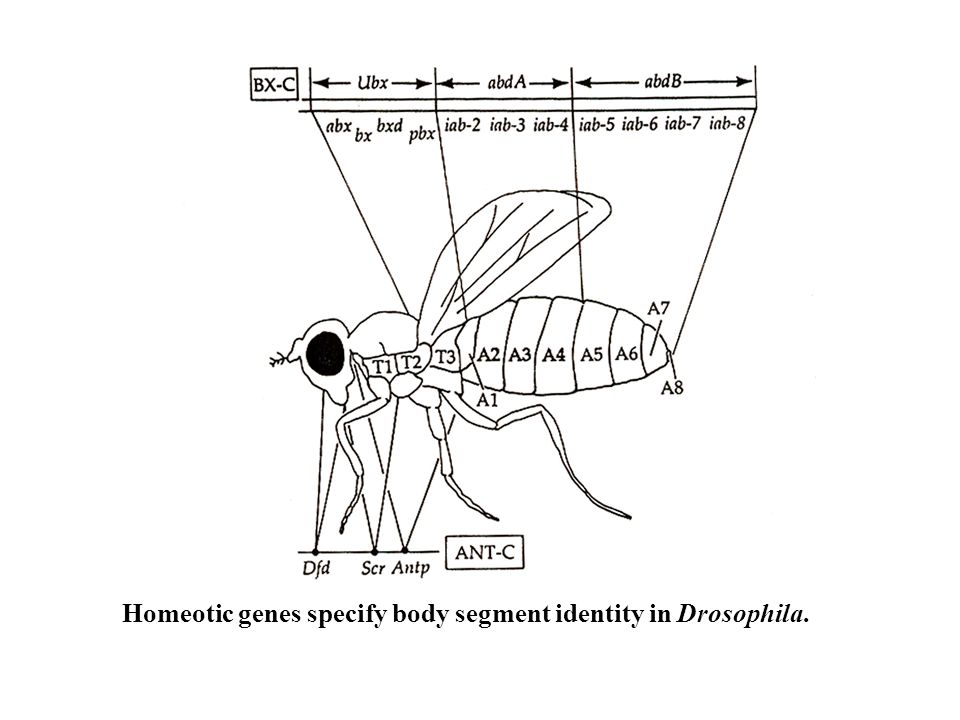 Homeotic genes specify body segment identity in Drosophila.