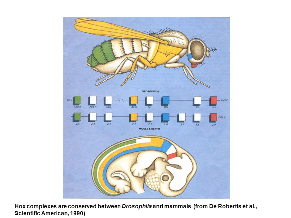Hox complexes are conserved between Drosophila and mammals (from De Robertis et al.,