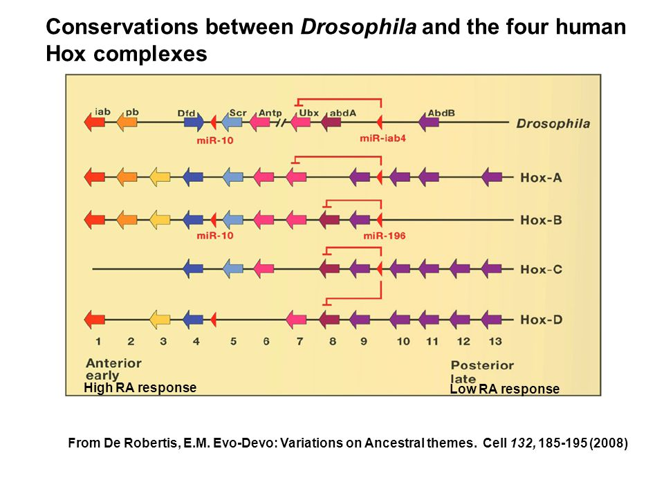 Conservations between Drosophila and the four human Hox complexes