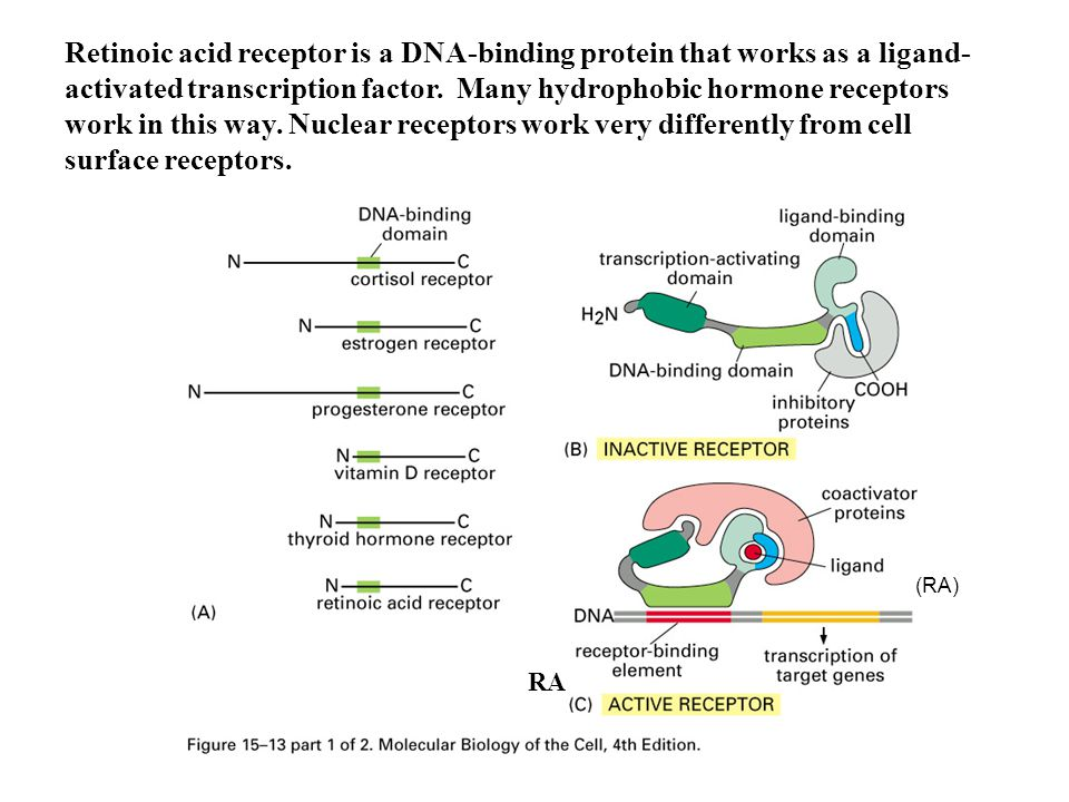 Retinoic acid receptor is a DNA-binding protein that works as a ligand-activated transcription factor. Many hydrophobic hormone receptors work in this way. Nuclear receptors work very differently from cell surface receptors.
