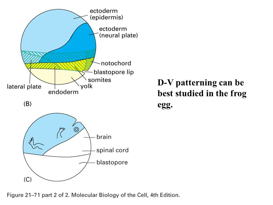 D-V patterning can be best studied in the frog egg.