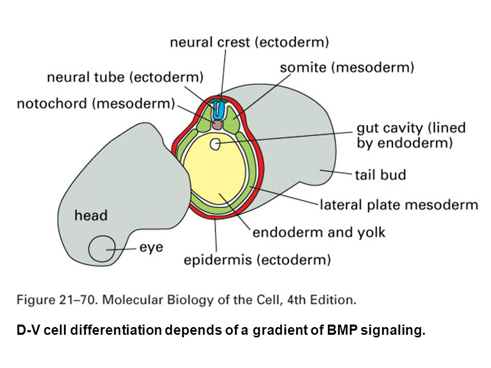 D-V cell differentiation depends of a gradient of BMP signaling.