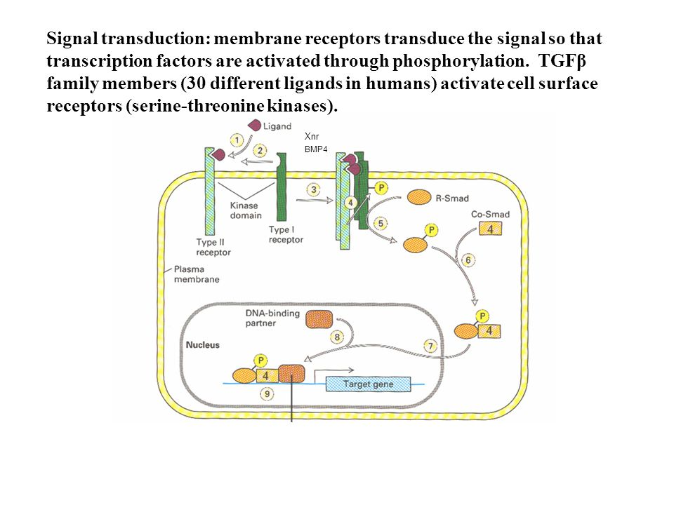 Signal transduction: membrane receptors transduce the signal so that transcription factors are activated through phosphorylation. TGFβ family members (30 different ligands in humans) activate cell surface receptors (serine-threonine kinases).