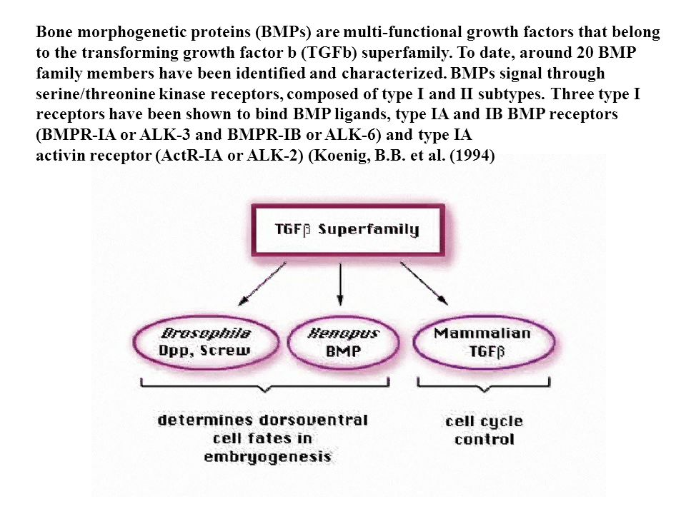 Bone morphogenetic proteins (BMPs) are multi-functional growth factors that belong to the transforming growth factor b (TGFb) superfamily. To date, around 20 BMP family members have been identified and characterized. BMPs signal through serine/threonine kinase receptors, composed of type I and II subtypes. Three type I receptors have been shown to bind BMP ligands, type IA and IB BMP receptors (BMPR-IA or ALK-3 and BMPR-IB or ALK-6) and type IA
