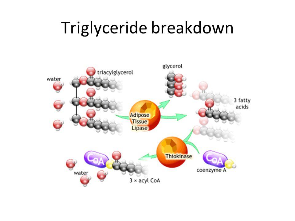 Triglyceride breakdown