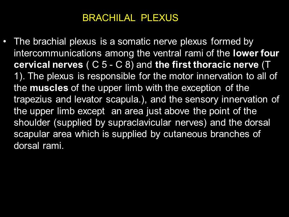 BRACHILAL PLEXUS