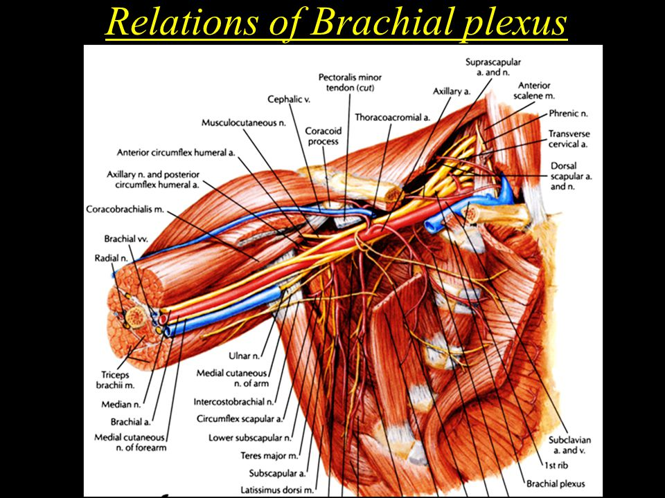 Relations of Brachial plexus