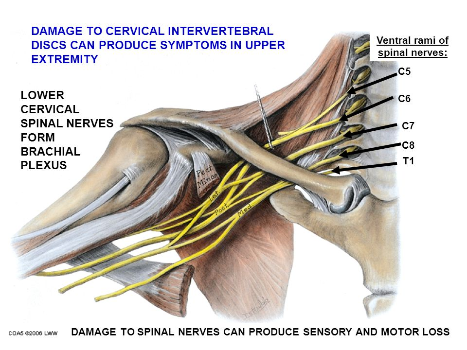 Ventral rami of spinal nerves: