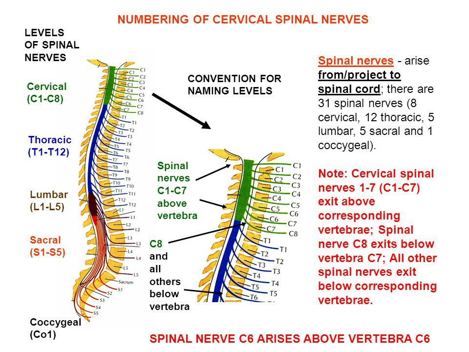 NUMBERING OF CERVICAL SPINAL NERVES