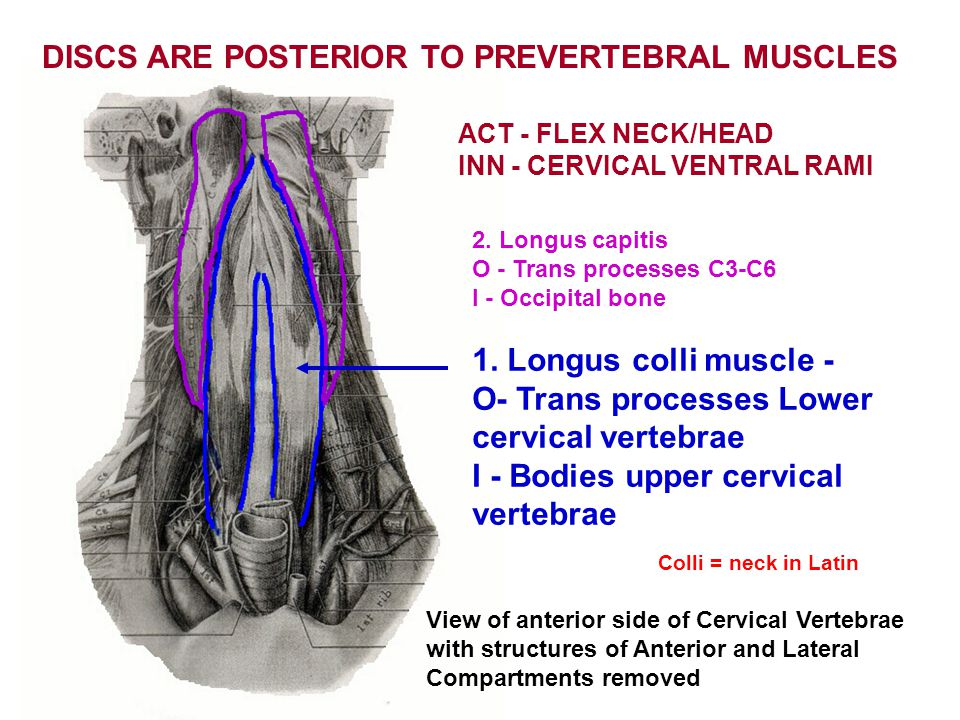 DISCS ARE POSTERIOR TO PREVERTEBRAL MUSCLES