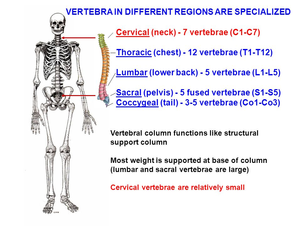 VERTEBRA IN DIFFERENT REGIONS ARE SPECIALIZED