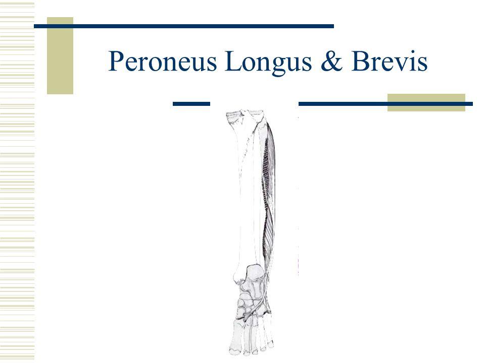 Peroneus Longus & Brevis