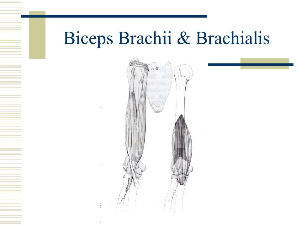 Biceps Brachii & Brachialis